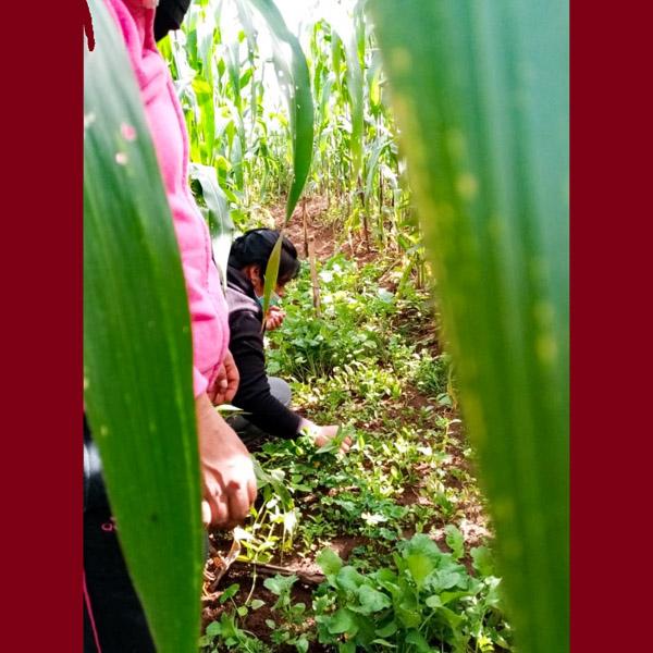 Guatemala - Harvesting