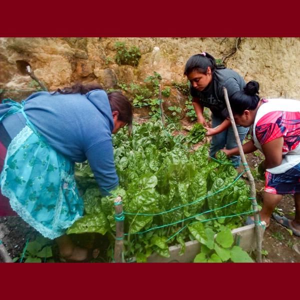 Guatemala - Women Harvesting Chard